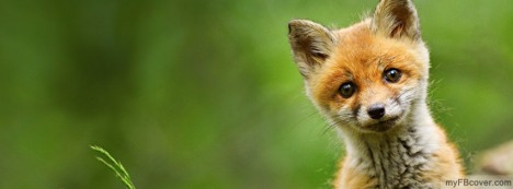 Baby Red Fox Facebook Cover