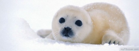 Harp Seal Facebook Cover