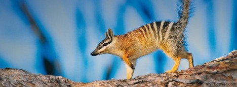 Numbat Facebook Cover