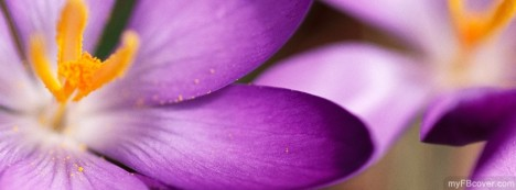 Purple Crocuses Facebook Cover