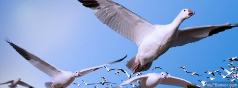 Snow Geese Facebook Cover