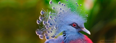 Victoria Crowned Pigeon Facebook Cover