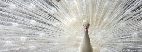 White Peacock Facebook Cover