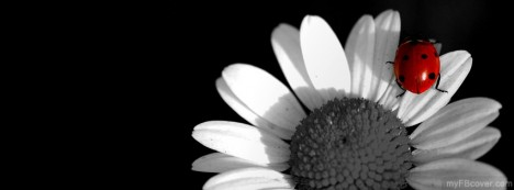 White Sunflower Facebook Cover