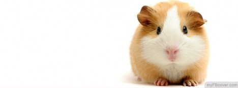 Guinea Pig Facebook Cover