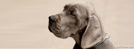 Weimaraner Dog Facebook Cover
